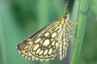 Large chequered skipper Species of butterfly
