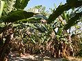 Hf9906Banana plantations Philippinesfvf 06.JPG