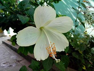 Hibiscus rosa-sinensis - A white cultivar