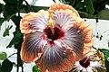 Hibiscus rosa-sinensis Fifth Dimension 4zz.jpg