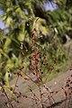 Hibiscus sabdariffa plant.jpg