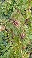 Hibiscus surattensis- Bush Sorrel, Wild Sour, Assam susor.jpg
