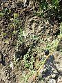 Hibiscus trionum sl1.jpg