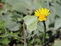 Hieracium tomentosum-IMG 5617.jpg
