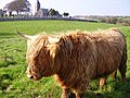 Highland Cattle and Colvend Church (Kirk) - geograph.org.uk - 927775.jpg