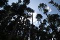Himalayan Cedars in Manali in 2009.jpg