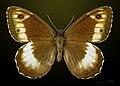 Hipparchia hermione MHNT CUT 2013 3 30 Peyreleau dorsal.jpg