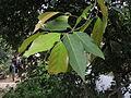 Hiptage benghalensis 06.JPG