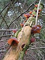 Hirneola auricula-judae.jpg