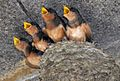 Hirundo rustica erythrogaster -Massachusetts -chicks-8.jpg