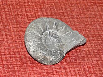 Spitidiscus - Fossil shell of Spitidiscus species from Alpes-de-Haute-Provence, on display at Galerie de paléontologie et d'anatomie comparée in Paris