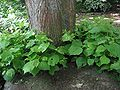 Hollandse linde opslag (Tilia × europaea).jpg