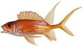 Holocentrus rufus - pone.0010676.g034.png