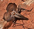 Homoeogryllus orientalis Nicolette Josling Kalkfontein Dam Nature Reserve 1.jpg