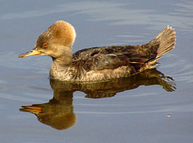 Hooded Merganser, female.jpg
