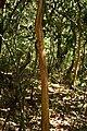 Hopea ponga - കമ്പകം 06.jpg