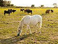 Horses in the Camargue 3.jpg