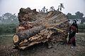 Huge Trunk Surrounded Palm - Sargachi - Murshidabad 2014-11-29 0121.JPG