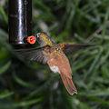 Hummingbird (6702506413).jpg