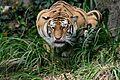 Hunting tiger.JPG