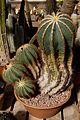 Huntington Gardens 10 - Notocactus Magnificus.jpg