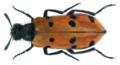 Hycleus duodecimpunctatus (Olivier, 1811).png