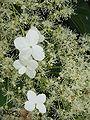 Hydrangea petiolaris04.jpg