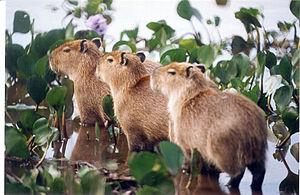 Young Capybara (Capivara in Portuguese) (Hydro...