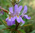 Hygrophila schulli Acanthaceae.jpg