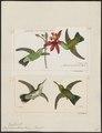 Hylocharis alicie - 1700-1880 - Print - Iconographia Zoologica - Special Collections University of Amsterdam - UBA01 IZ19100493.tif