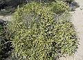Hymenoclea salsola form.jpg