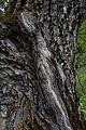 ID 1059 Nußbaum in Pux 0012.jpg