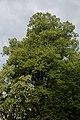 ID 693 Linde in Deutschfeistritz 007.jpg