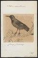 Icterus xanthornus - 1700-1880 - Print - Iconographia Zoologica - Special Collections University of Amsterdam - UBA01 IZ15800199.tif
