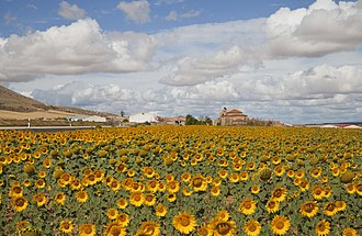 Arable land - A field of sunflowers in Cardejón, Spain