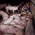 Igualdad Animal - Investigación Granjas Cerdos Toledo - Mayo 2010 1343 (6992277146).jpg