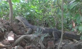 Iguana Near a Pond.jpg