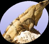 סמליל פורטל:זוחלים ודו-חיים