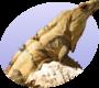 Iguana icon.png