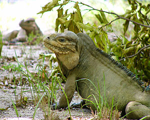 Mona ground iguana - Image: Iguana sitting down looking to the left