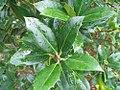 Ilex aquifolium Siberia Limsi 1zz.jpg