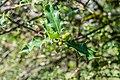 Ilex aquifolium in La Jaysinia (2).jpg