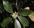 Illicium anisatum (flower s5).jpg