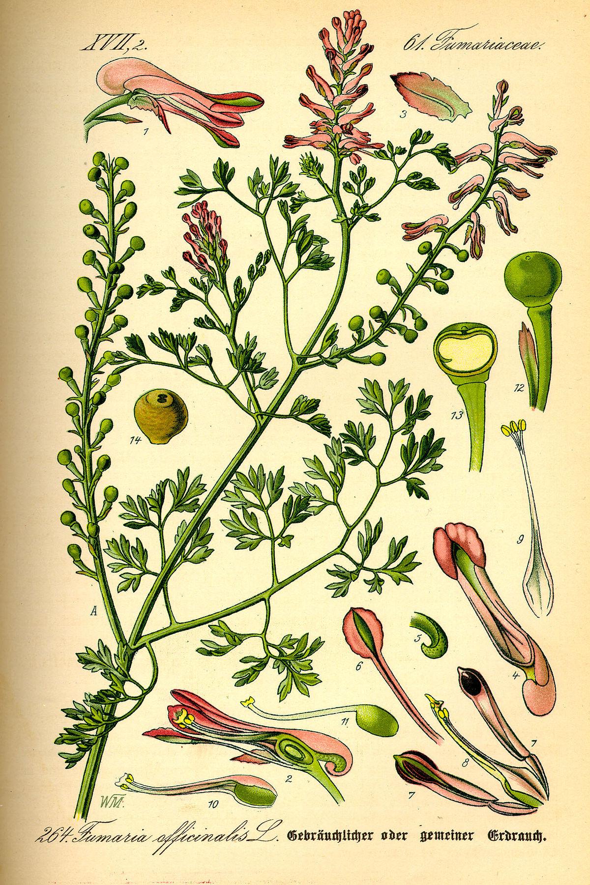 Illustration Fumaria officinalis0.jpg