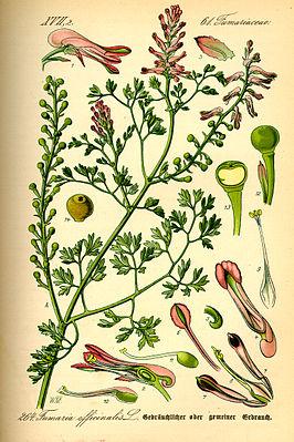 Gewöhnlicher Erdrauch (Fumaria officinalis) Illustration Flora von Deutschland, Österreich und der Schweiz