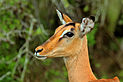 Impala (Aepyceros melampus) female head.jpg