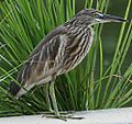 Indian Pond Heron - Ardeola grayii.JPG