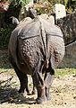 Indisches Panzernashorn Rhinoceros unicornis Tierpark Hellabrunn-5.jpg