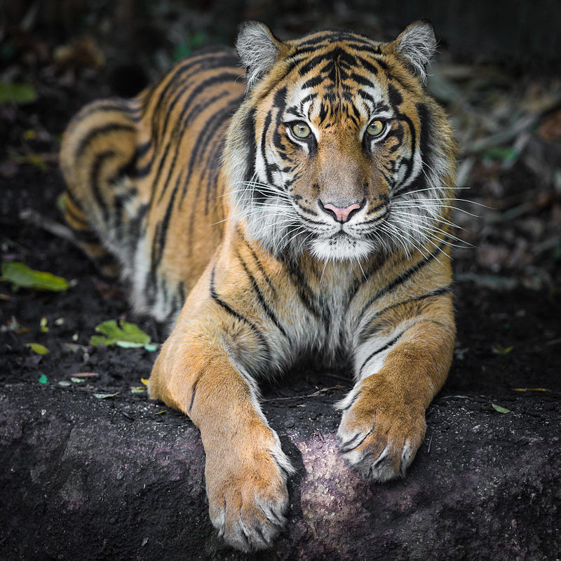 Indrah the Sumatran Tiger.jpg