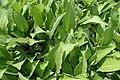 Inula helenium kz01.jpg